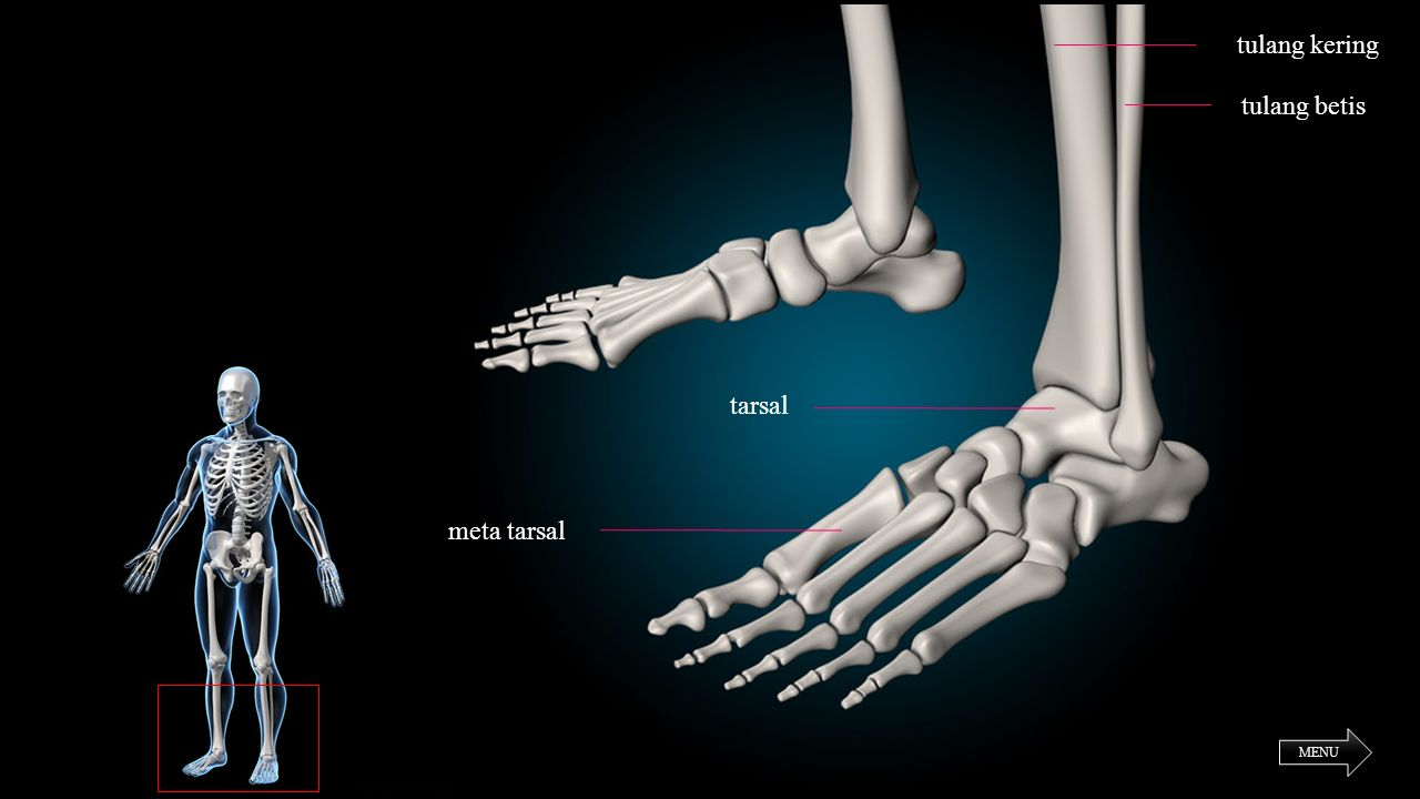 tulang kering tulang betis tarsal meta tarsal MENU