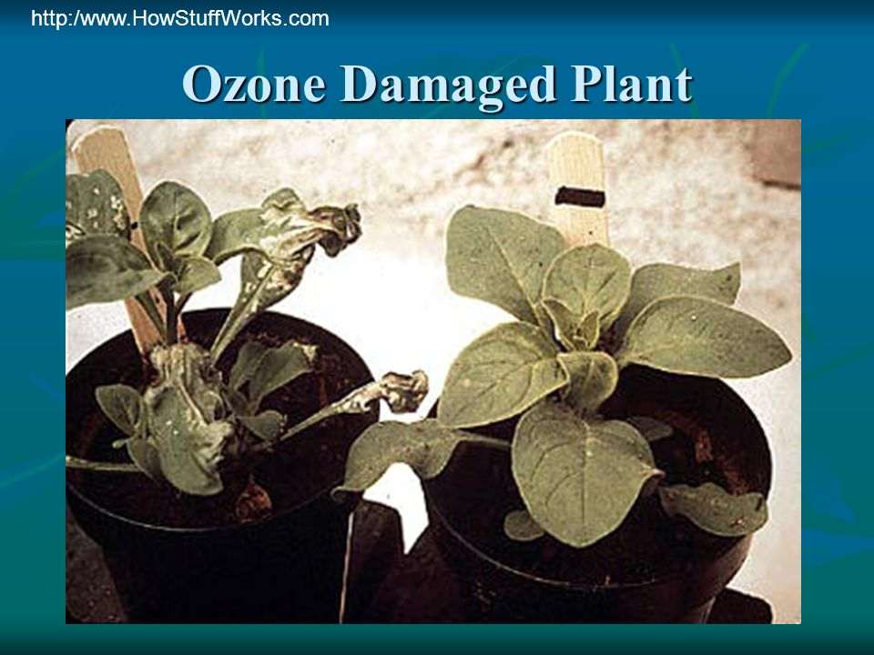 http:/www.HowStuffWorks.com Ozone Damaged Plant