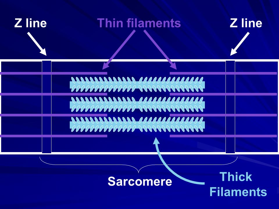 Z line Thin filaments Thick Filaments Sarcomere