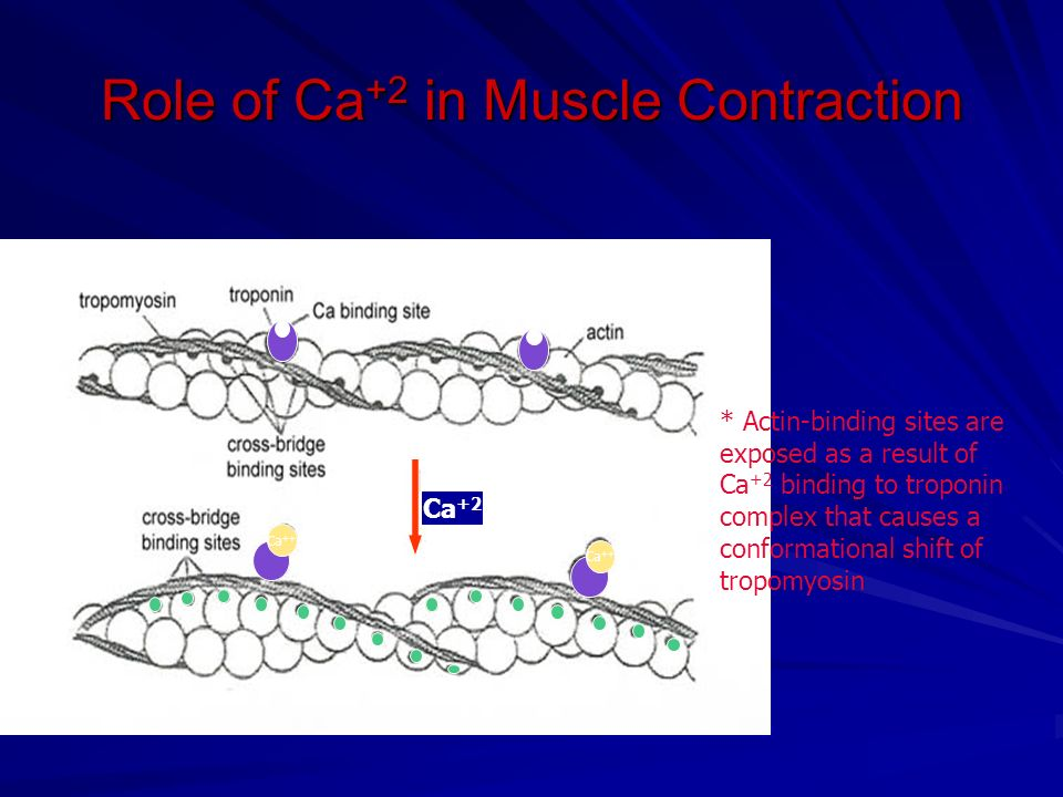 Role of Ca+2 in Muscle Contraction