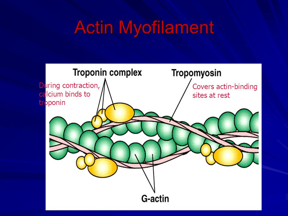 Actin Myofilament During contraction, calcium binds to troponin