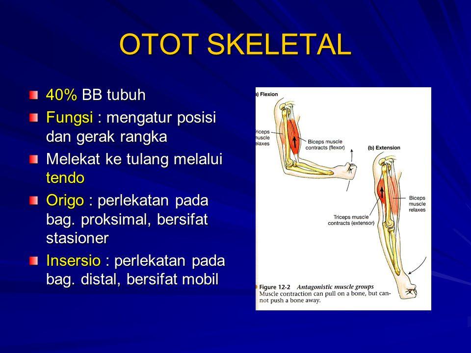 OTOT SKELETAL 40% BB tubuh Fungsi : mengatur posisi dan gerak rangka