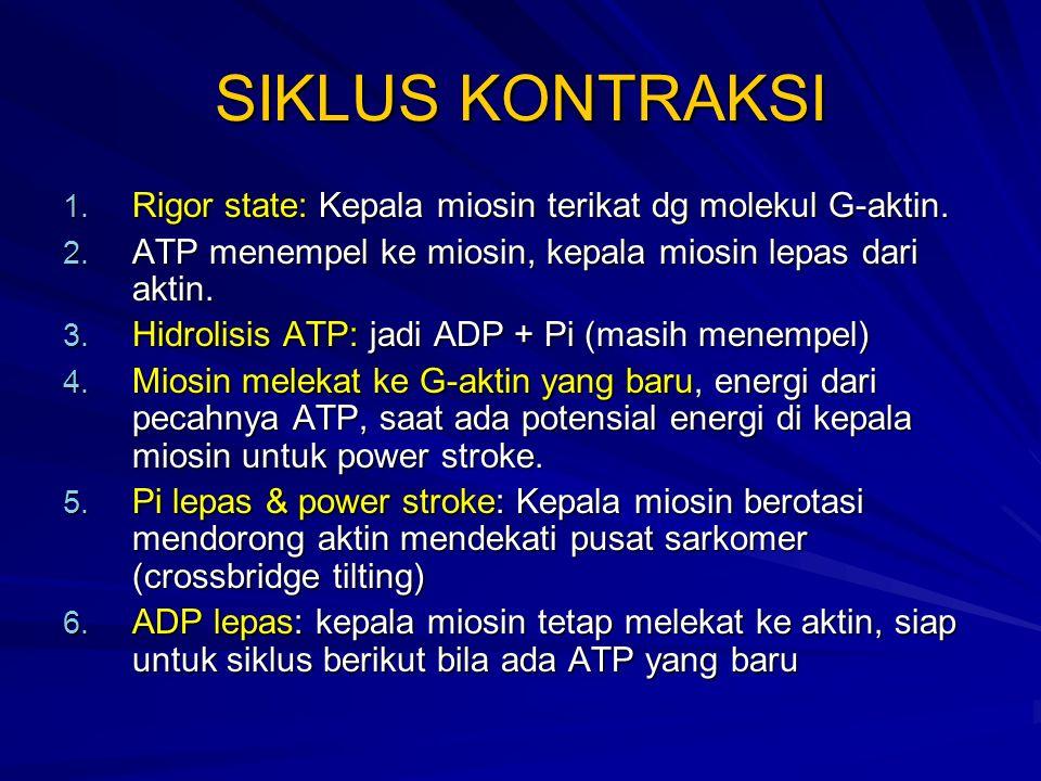 SIKLUS KONTRAKSI Rigor state: Kepala miosin terikat dg molekul G-aktin. ATP menempel ke miosin, kepala miosin lepas dari aktin.