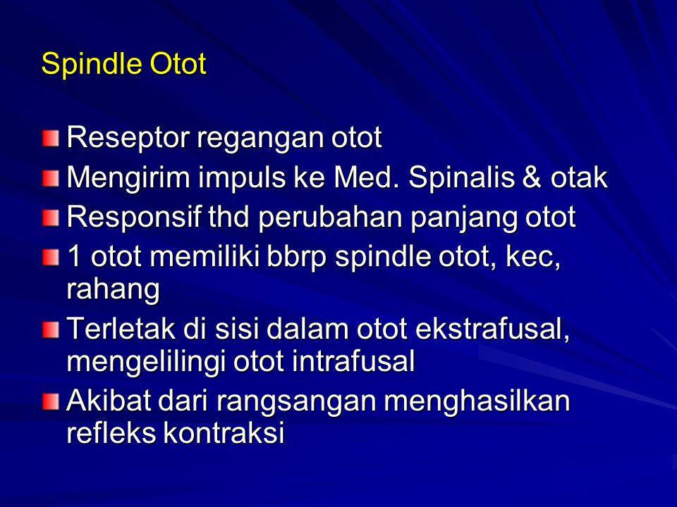 Spindle Otot Reseptor regangan otot. Mengirim impuls ke Med. Spinalis & otak. Responsif thd perubahan panjang otot.