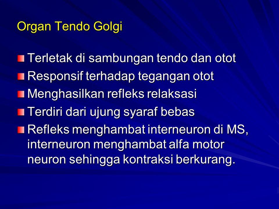 Organ Tendo Golgi Terletak di sambungan tendo dan otot. Responsif terhadap tegangan otot. Menghasilkan refleks relaksasi.