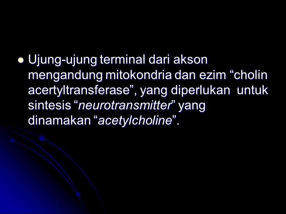 Ujung-ujung terminal dari akson mengandung mitokondria dan ezim cholin acertyltransferase , yang diperlukan untuk sintesis neurotransmitter yang dinamakan acetylcholine .