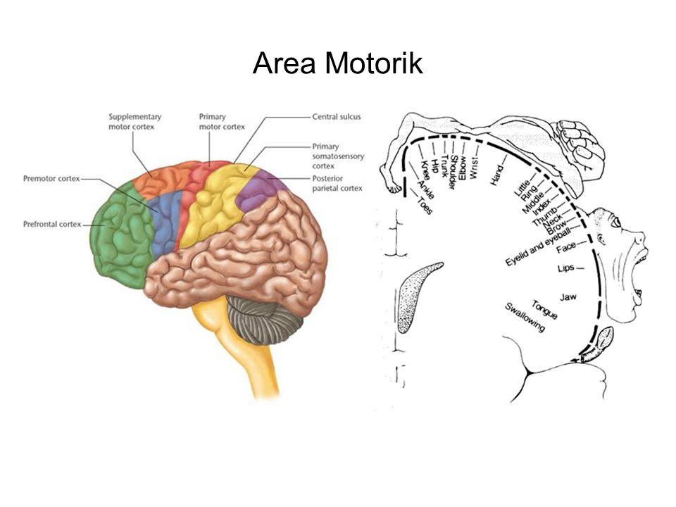 Area Motorik