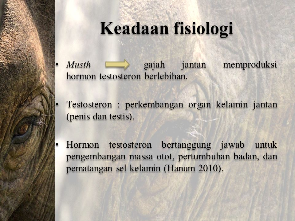 Keadaan fisiologi Musth gajah jantan memproduksi hormon testosteron berlebihan.