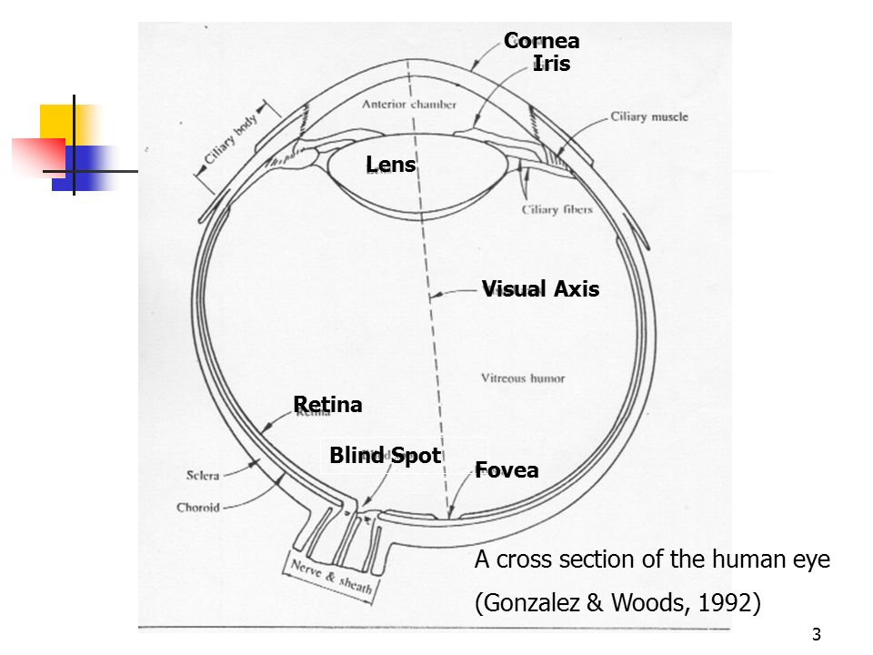 A cross section of the human eye (Gonzalez & Woods, 1992)