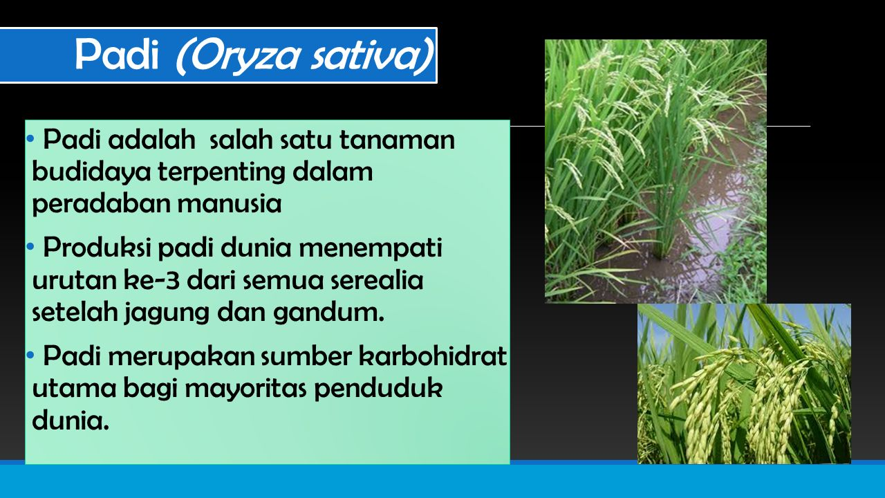 Padi (Oryza sativa) Padi adalah salah satu tanaman budidaya terpenting dalam peradaban manusia.
