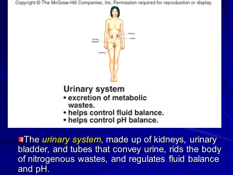 The urinary system, made up of kidneys, urinary bladder, and tubes that convey urine, rids the body of nitrogenous wastes, and regulates fluid balance and pH.