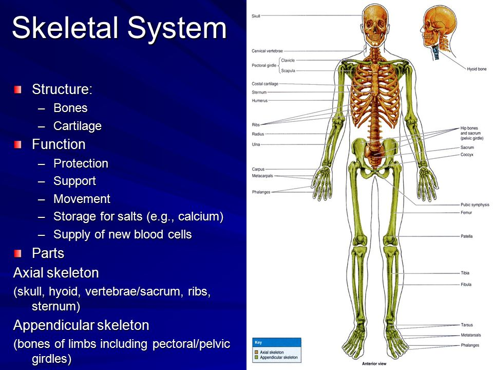 Skeletal System Structure: Function Parts Axial skeleton