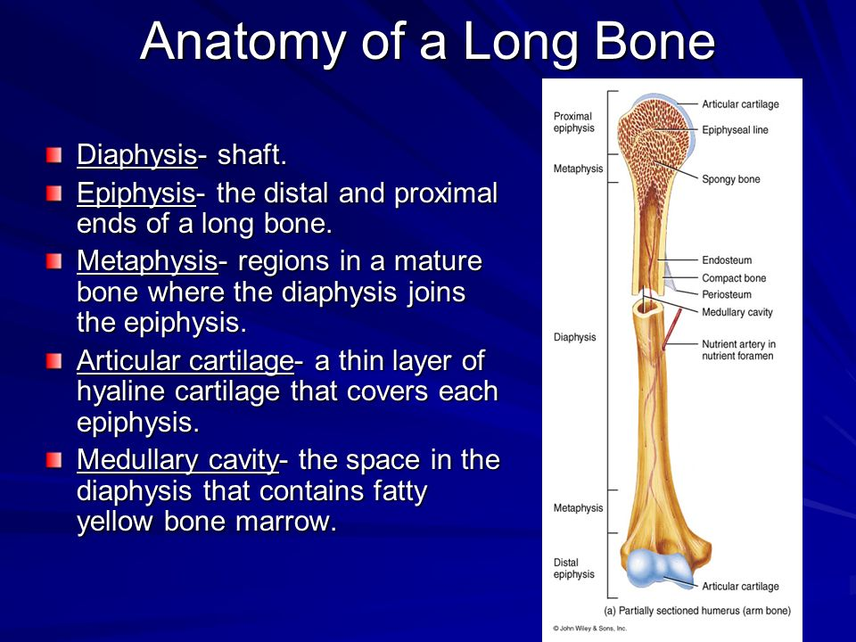 Anatomy of a Long Bone Diaphysis- shaft.