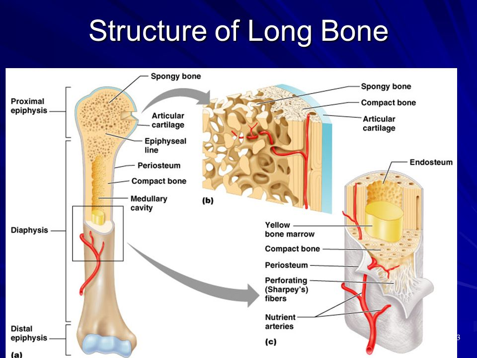 Structure of Long Bone Figure 6.3