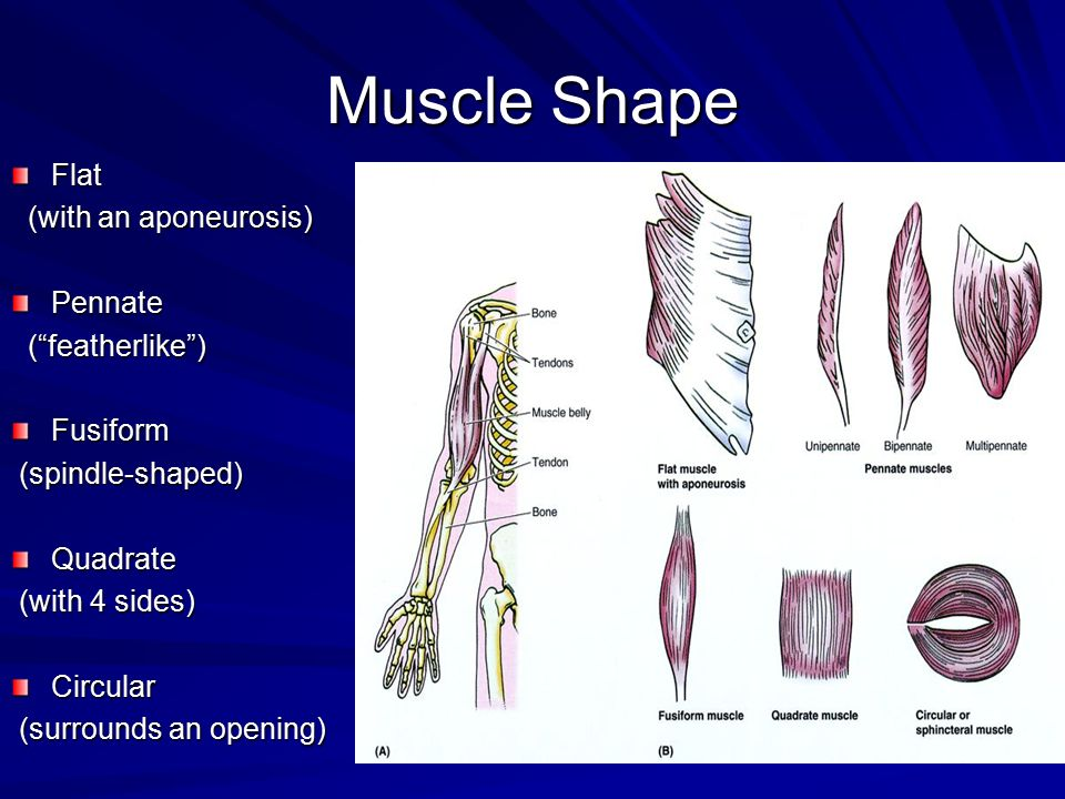 Muscle Shape Flat (with an aponeurosis) Pennate ( featherlike )