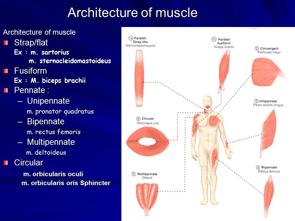 Architecture of muscle