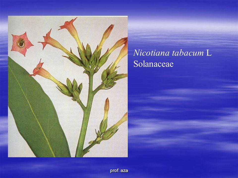 Nicotiana tabacum L Solanaceae