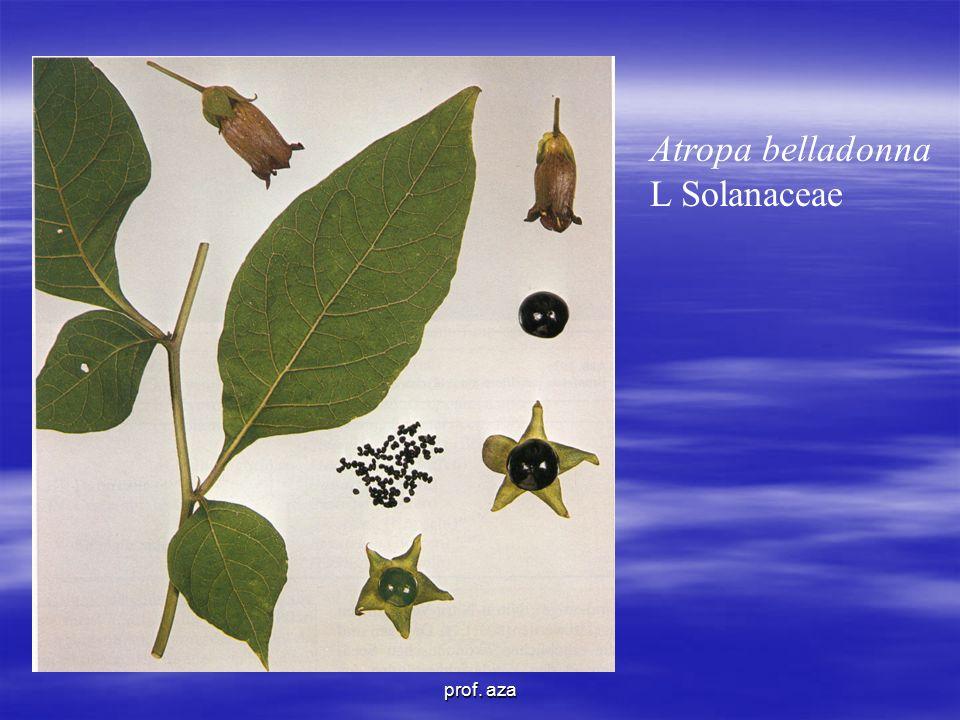 Atropa belladonna L Solanaceae