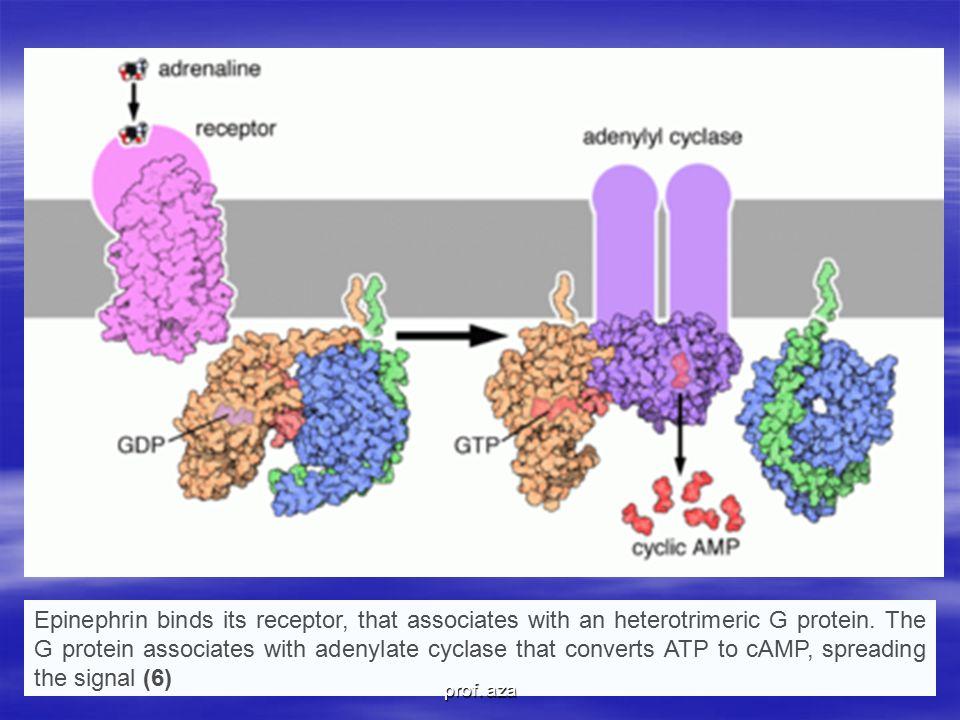 Epinephrin binds its receptor, that associates with an heterotrimeric G protein. The G protein associates with adenylate cyclase that converts ATP to cAMP, spreading the signal (6)