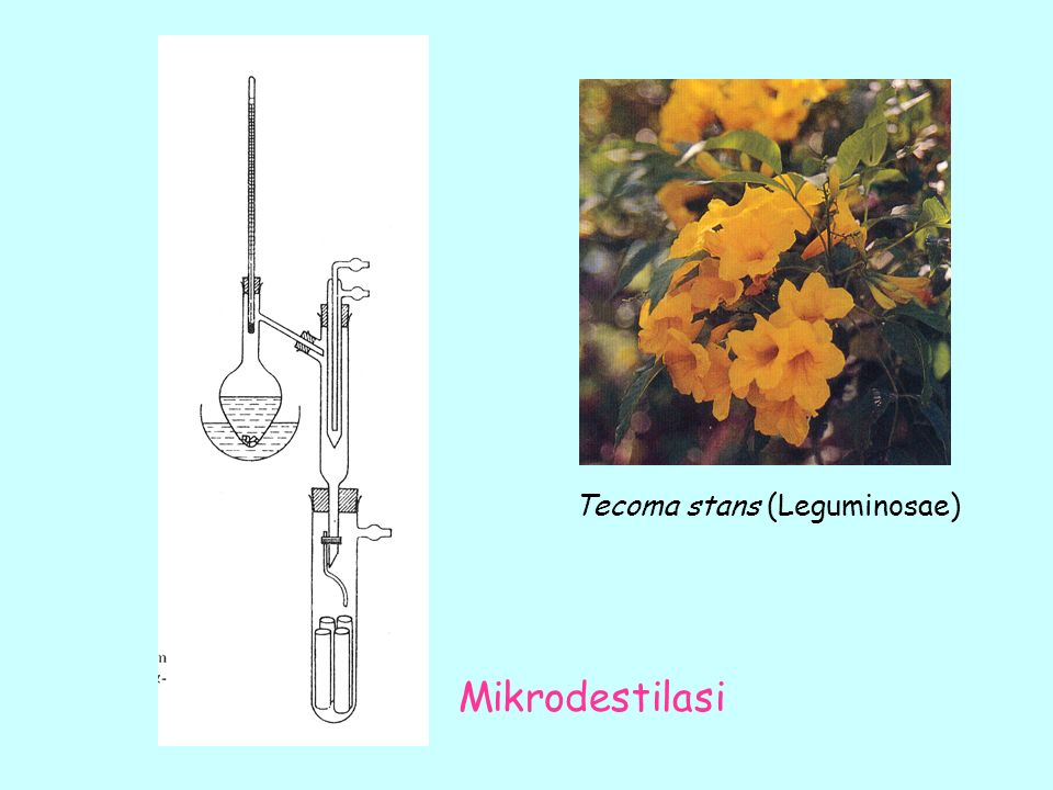Tecoma stans (Leguminosae)
