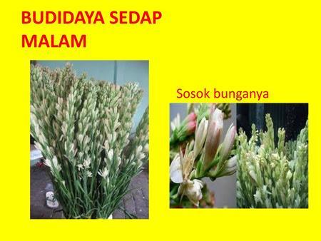 Budidaya Sedap Malam Sosok Bunganya Ppt Download