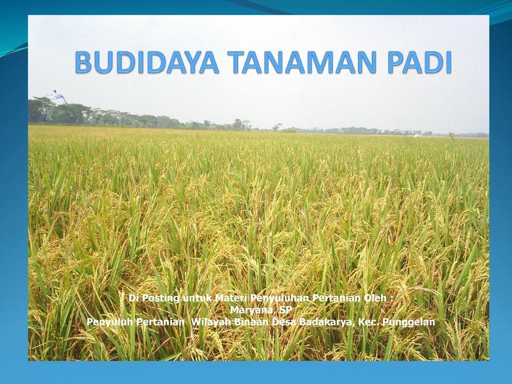 Budidaya Tanaman Padi Di Posting Untuk Materi Penyuluhan Pertanian