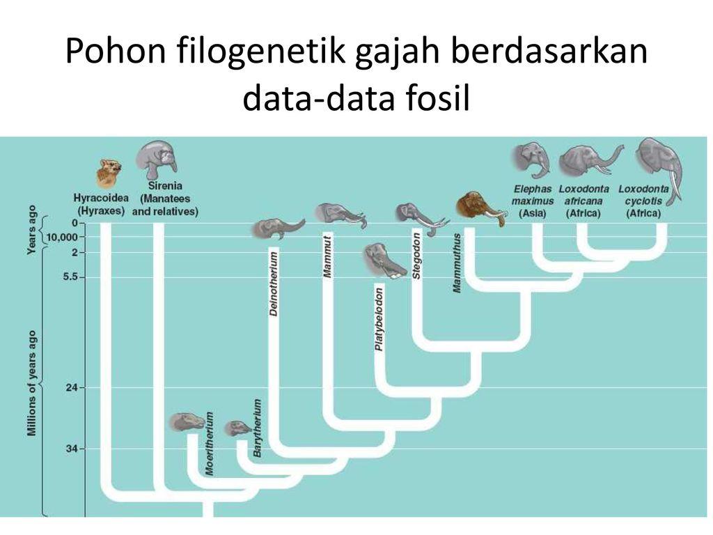 Dr henny saraswati momed ppt download 10 pohon filogenetik gajah berdasarkan data data fosil ccuart Choice Image