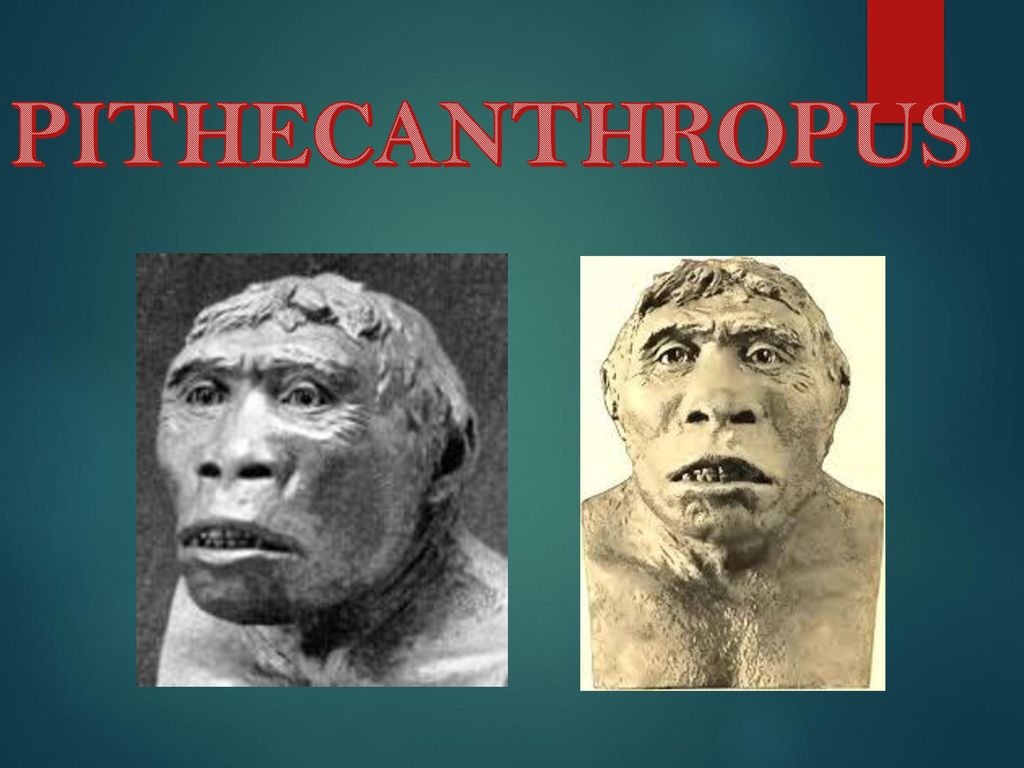 Manusia Purba Pithecanthropus Ppt Download