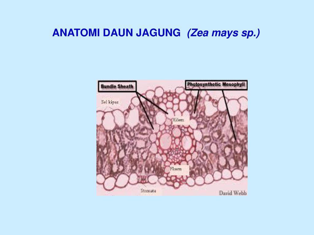 89+ Gambar Struktur Daun Zea Mays