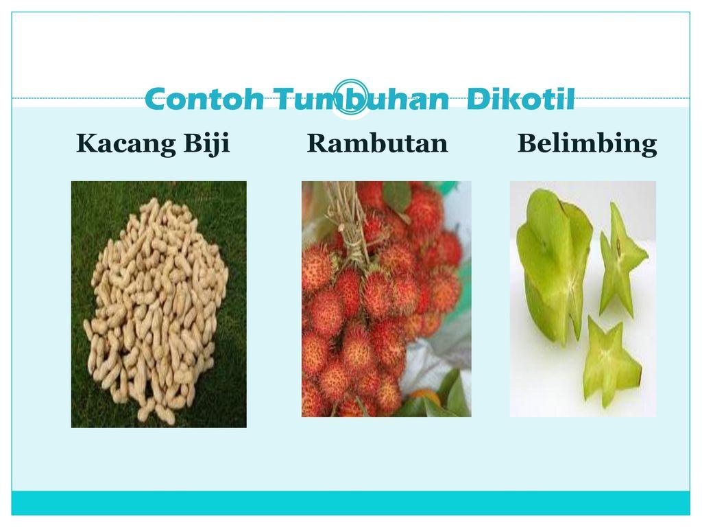 Tumbuhan Monokotil Dikotil Ppt Download
