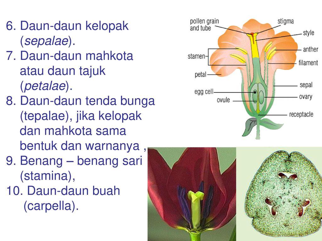 Inflorescentia Dwi Kusuma Wahyuni Departemen Biologi Ppt Download