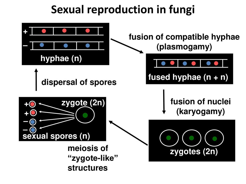 Reproduksi jamur deuteromycetes asexual reproduction