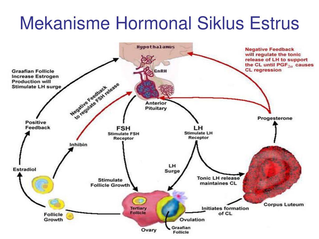 Contoh Laporan Praktikum Embriologi Hewan – Siklus Estrus