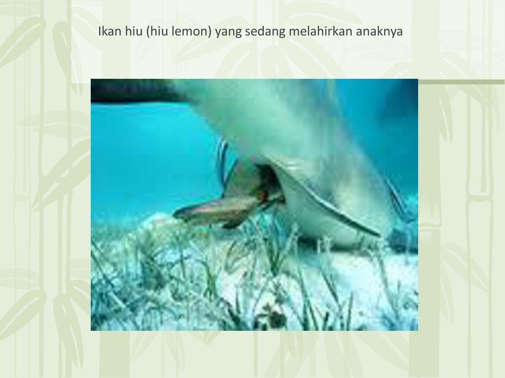 630 Koleksi Gambar Ikan Hiu Melahirkan Terbaru