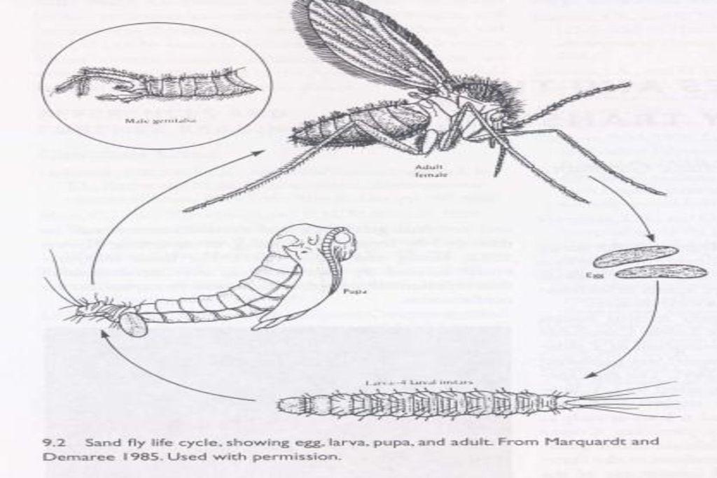 6700 Koleksi Gambar Daur Hidup Hewan Lalat Gratis