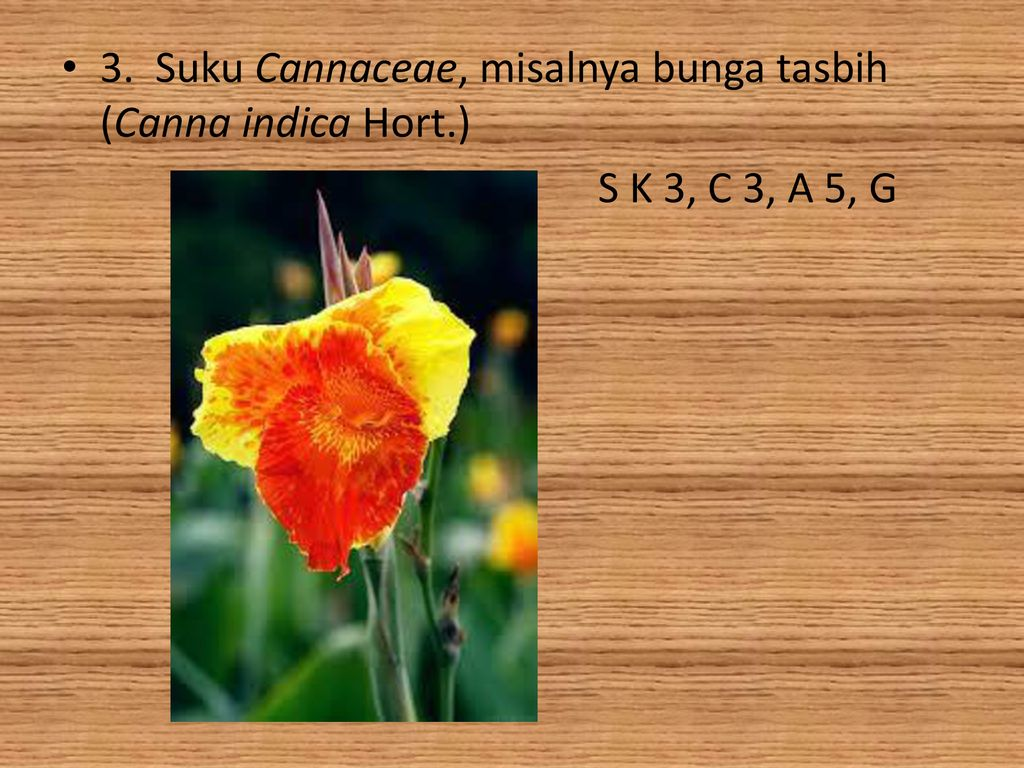 Struktur dan perkembangan tumbuhan ppt download suku cannaceae misalnya bunga tasbih canna indica hort ccuart Images
