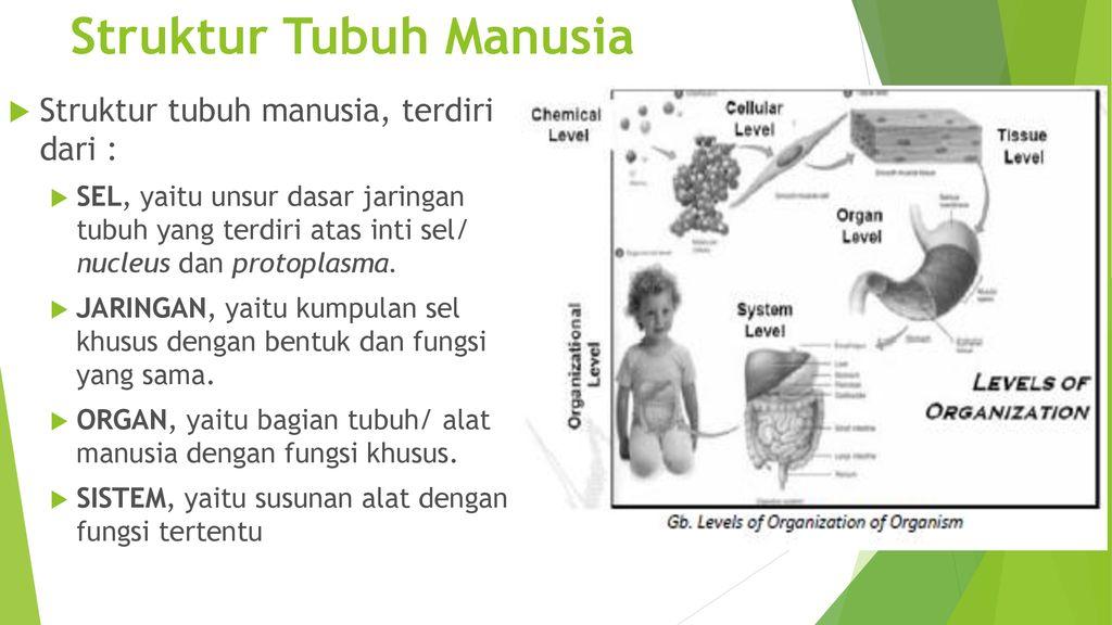 Anatomi Fisiologi Tubuh Manusia Ppt Download
