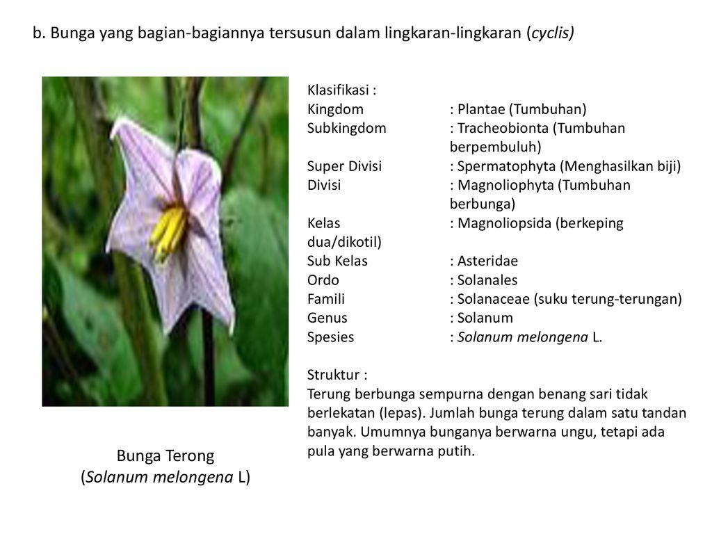 Struktur Dan Perkembangan Tumbuhan 1 Angyospermae Dicotyledonae Ppt Download