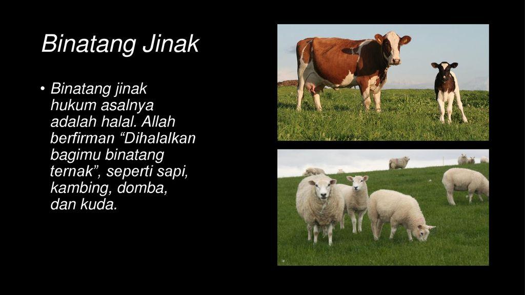 5700 Koleksi Gambar Binatang Ternak Yang Halal Terbaik