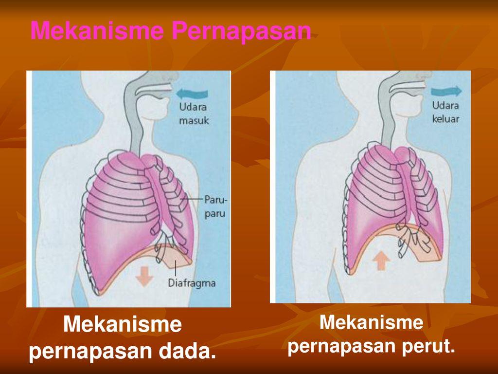 Sistem Respirasi Mengapa Diperlukan Ppt Download
