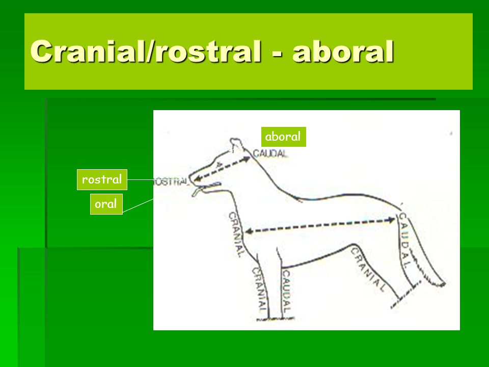 Cranial/rostral - aboral