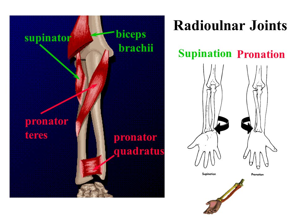 Radioulnar Joints biceps supinator brachii Supination Pronation