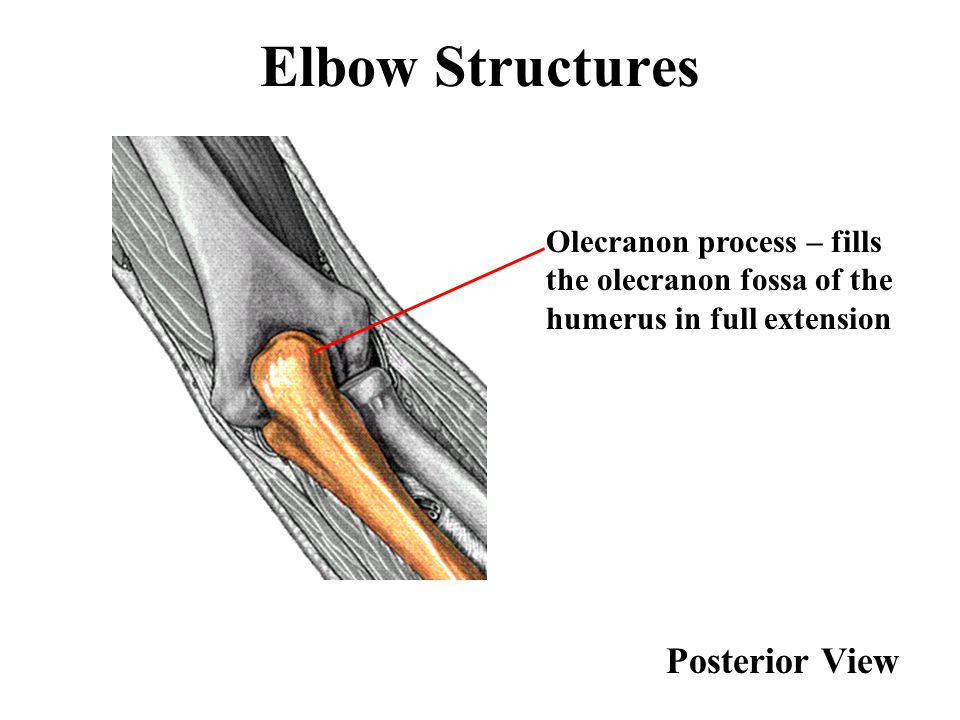 Elbow Structures Posterior View