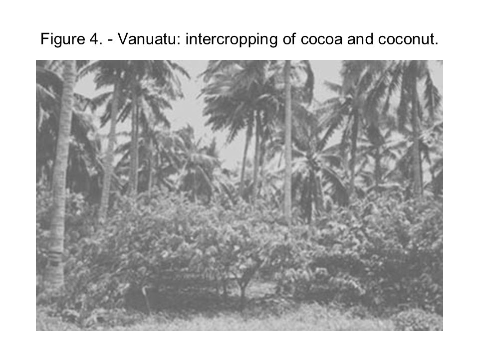 Figure 4. - Vanuatu: intercropping of cocoa and coconut.