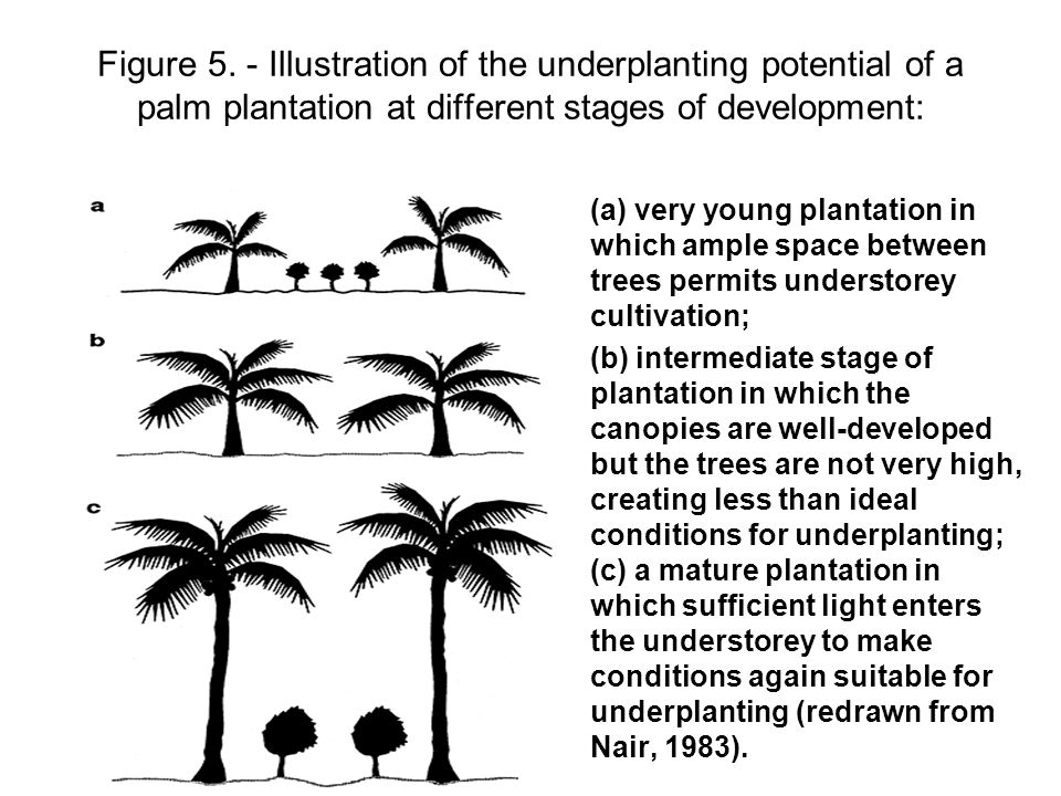 Figure 5. - Illustration of the underplanting potential of a palm plantation at different stages of development: