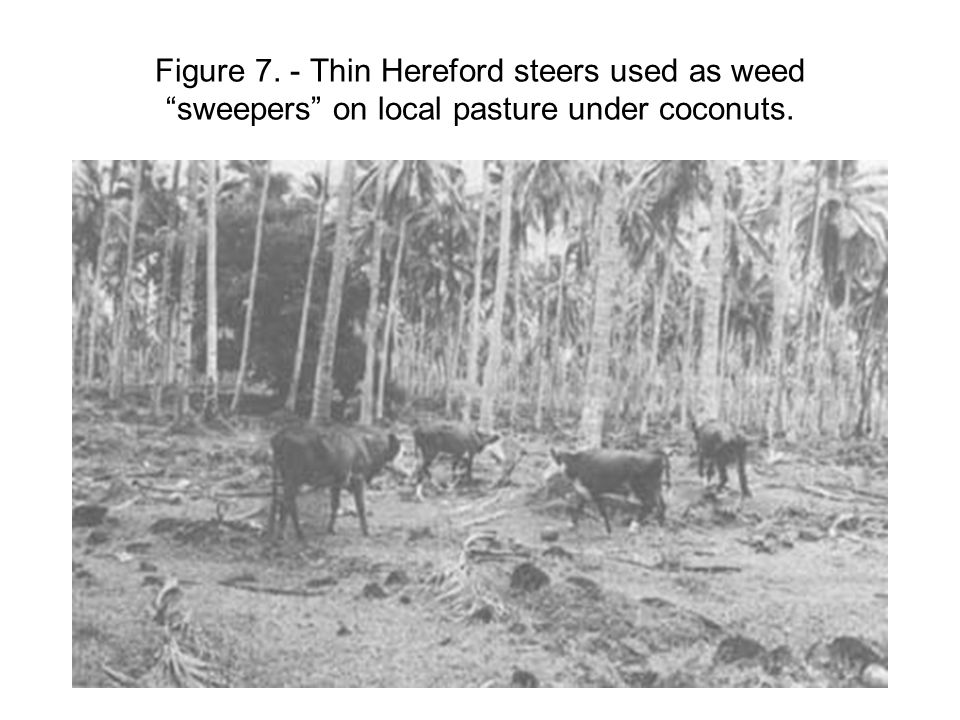 Figure 7. - Thin Hereford steers used as weed sweepers on local pasture under coconuts.