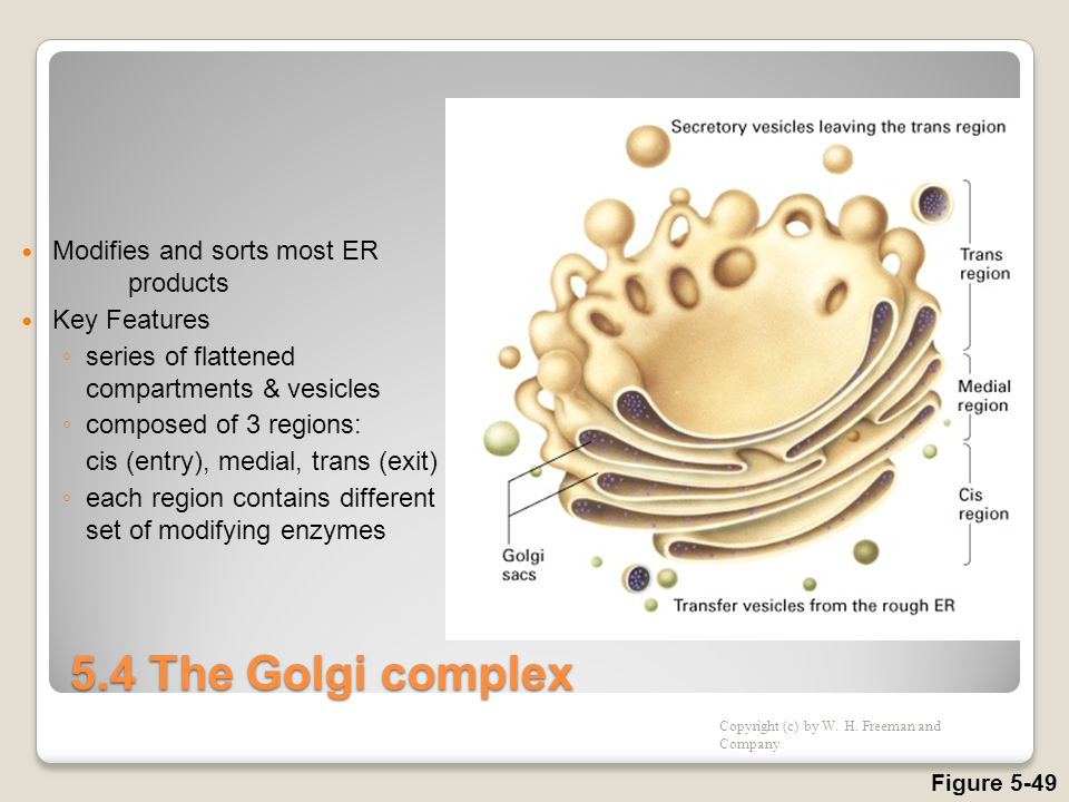 5.4 The Golgi complex Modifies and sorts most ER products Key Features