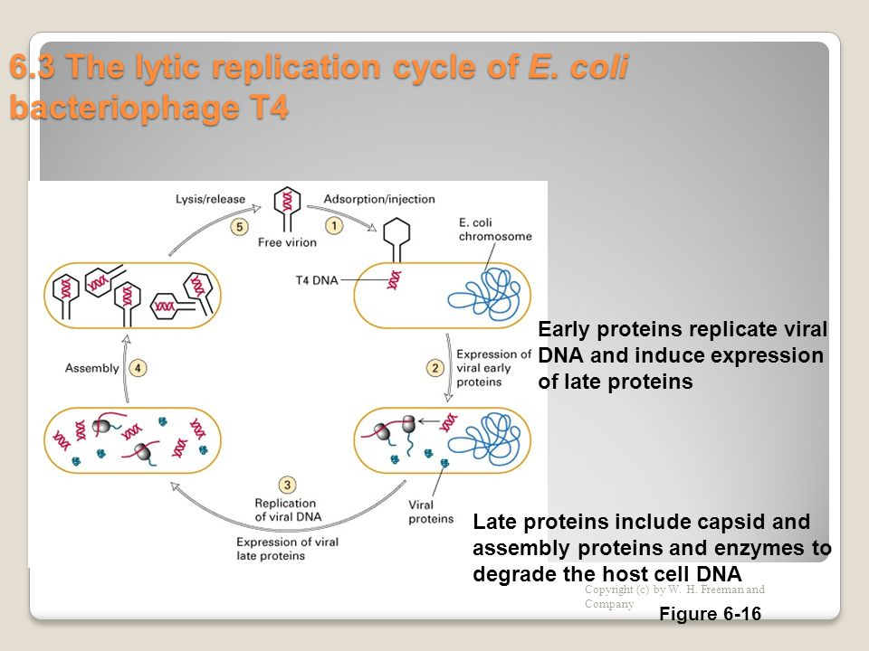 6.3 The lytic replication cycle of E. coli bacteriophage T4