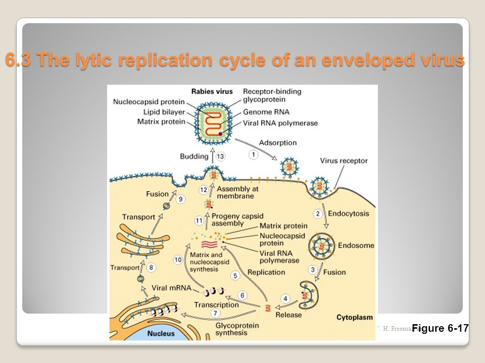 6.3 The lytic replication cycle of an enveloped virus