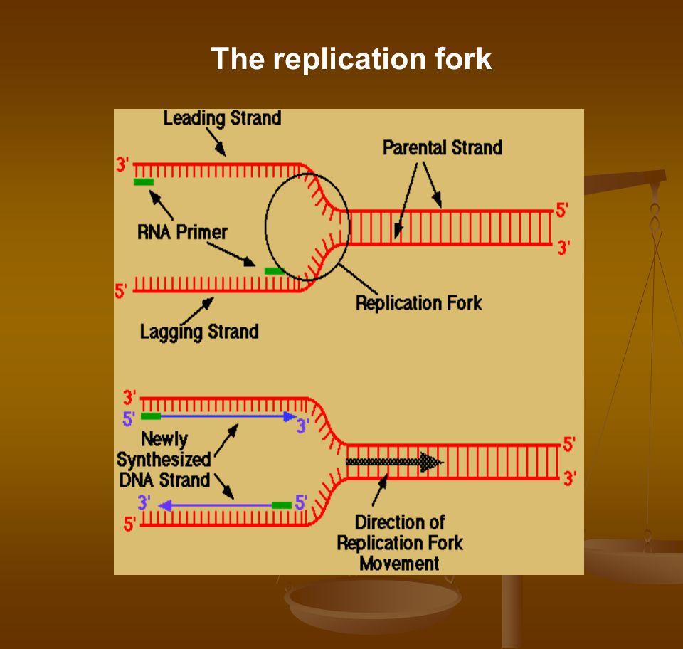 The replication fork